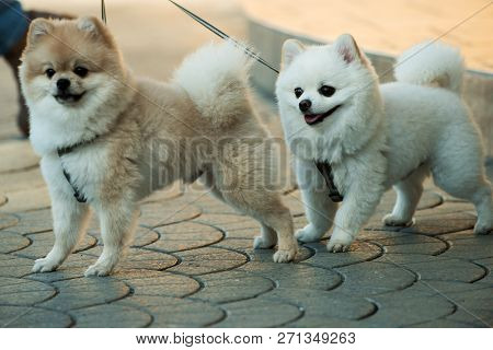 poster of They Are So Lovable. Pomeranian Spitz Dogs Walk On Leash. Pedigree Dogs. Dog Pets Outdoor. Cute Smal