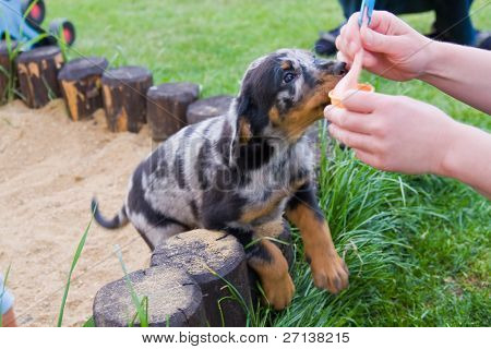 adorable puppy of french beauceron