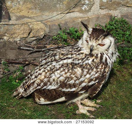 Owl, Indian Eagle Owl