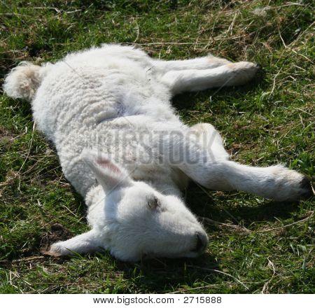 Sick Lamb
