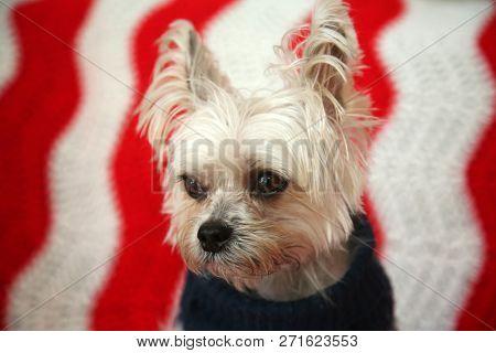 poster of Not Amused Small dog Christmas. A Morkie half Maltese - Yorkie dog smiles for his Christmas Portrait