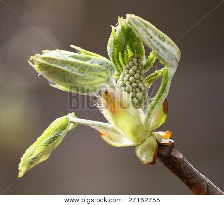 Junge Kastanien Knospen und Blätter im Frühjahr