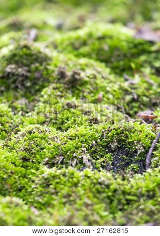 Green moss closeup