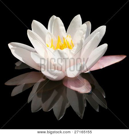 Beautiful blooming pink water lily in the pond