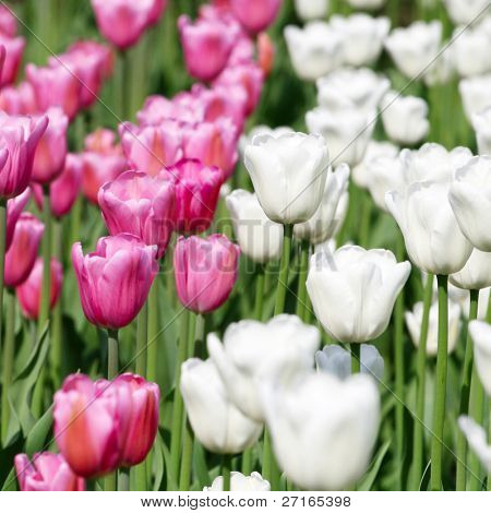 White and pink blooming tulips