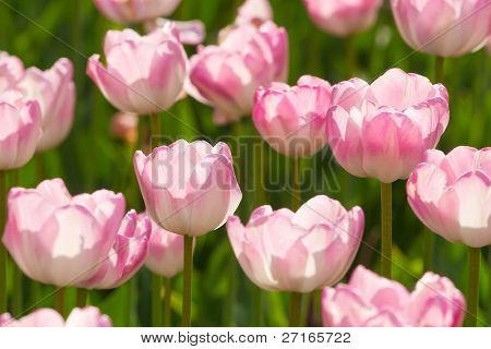 Beautiful pink blooming tulips