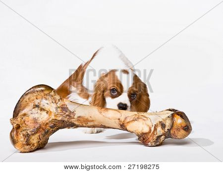 Curious dog sniffing large bone hungrily