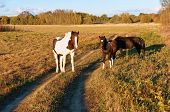 Horses In The Field, White Horse With Red Spots, Horse And Foal poster