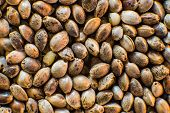 Hemp Seeds Background In Macro. Macro Detail Of Marijuana Seed. Many Cannabis Seeds. Organic Hemp Se poster