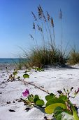 pic of sea oats  - A sea grape plant in bloom is crawling toward the Gulf of Mexico on the west coast of Florida past the sea oats - JPG