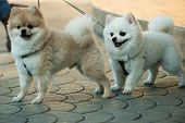 They Are So Lovable. Pomeranian Spitz Dogs Walk On Leash. Pedigree Dogs. Dog Pets Outdoor. Cute Smal poster