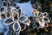 Dark Green Round Leaves In Frost. Early Winter Morning. Branch Covered With Frost. Winter. Frosty Pl poster