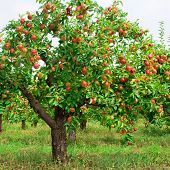 foto of apple tree  - Red apples on apple tree branch - JPG