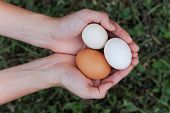 a girl carefully holds three chicken eggs in her hands.
