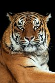 Beautiful Big Tiger Portrait On Black Background poster