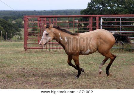 Galloping Colt