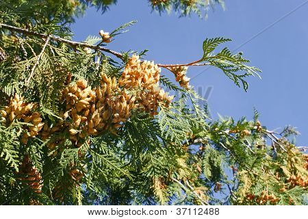 Thuya Branch With Ripe Cones