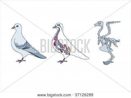 Pájaro anatomía .eps