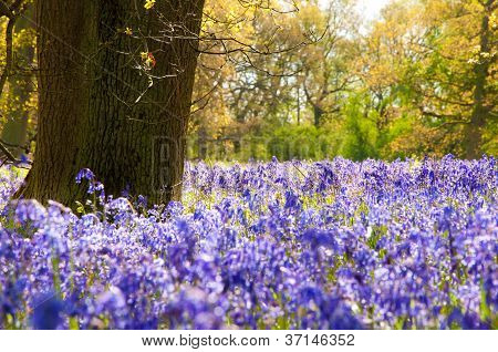 Bluebells in the forest.