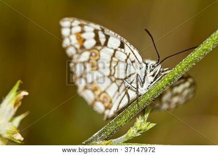 Spanish Marbled White (melanargia Ines)