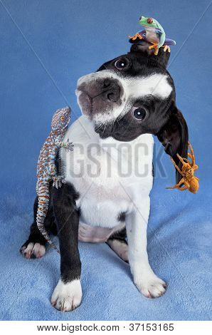 Boston Terrier And Friends