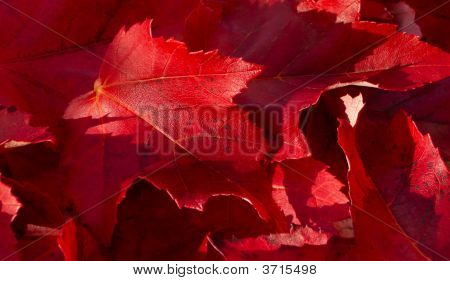Red Maple Autumn Leaves Background