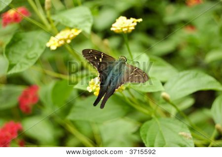 Long Tailed Skipper Butterfly