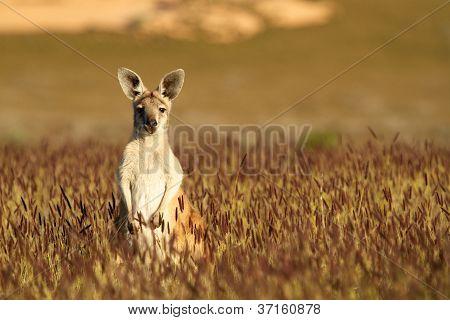 Cute Kangaroo in Australian outback