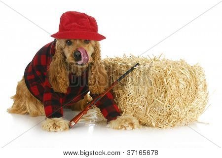 hunting dog - cocker spaniel wearing plaid shirt and red hat with rifle sitting beside bale of straw