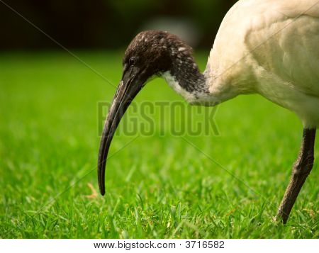 A Sacred Ibis