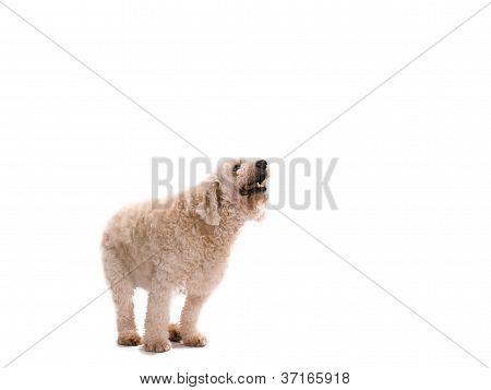 begging labradoodle