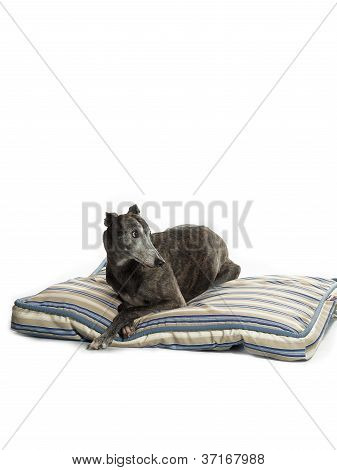 lounging greyhound