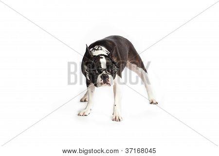 nerd boston terrier