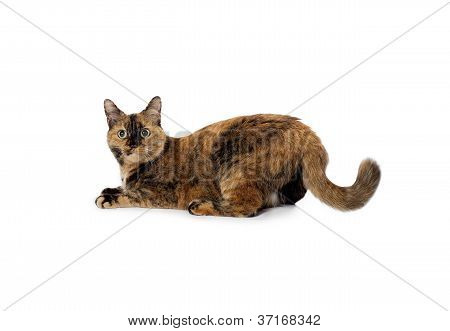 pet cat lying down