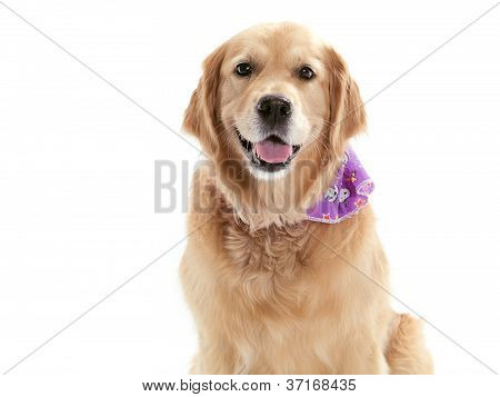 Purebred Golden Retriever