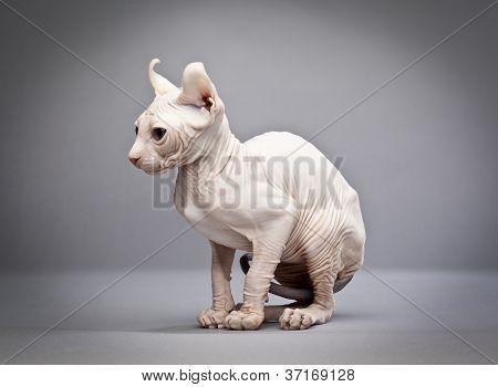 sitting hairless cat