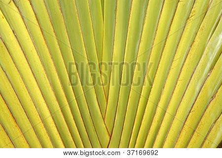Leaf Stalk Of Traveller Palm