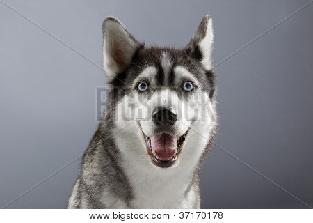 smiling husky in grey backgorund