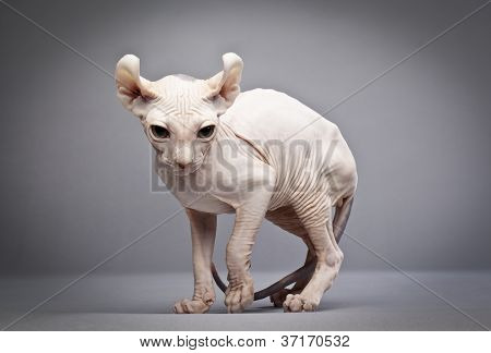estranho gato sem pêlos