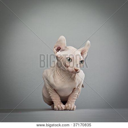 gato elf arrugada