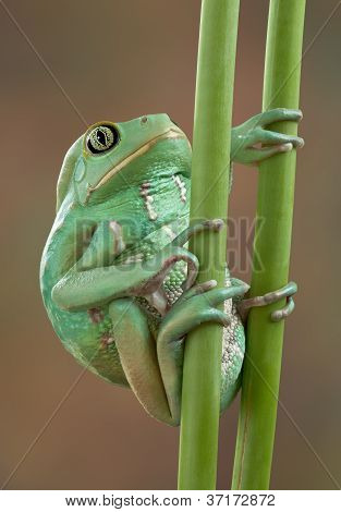 Waxy Tree Frog On Stems