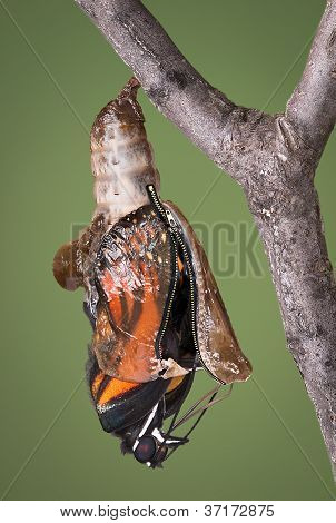 Zippered Chrysalis