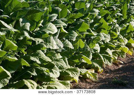 Bright Leaf Tobacco Field Detail