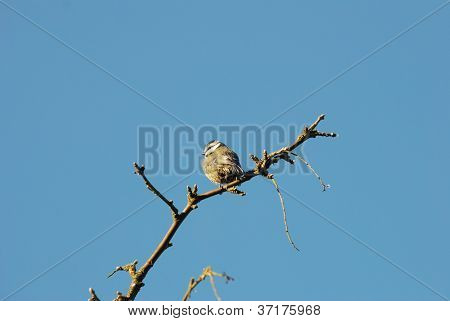 Young blue tit on bare branch