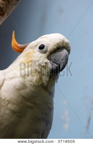 Citron-Crested Cockatoo