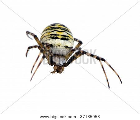 Wasp Spider Argiope Bruennichi Isolated On White