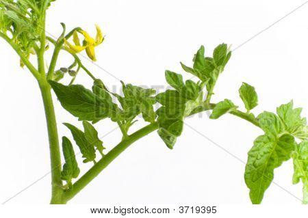 Organic Tomato Plant Isolation