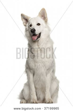 Berger Blanc Suisse, 1 year old, sitting against white background