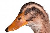Young domestic duck isolated on white background poster