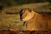 Постер, плакат: Африканской львицы в Намибии